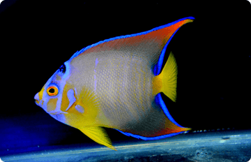 AQuaStarでは、自社独自の採取方法を活かし、 数多くの海水魚を世界中から直輸入で仕入れております。