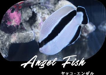 Angel Fish ヤッコ・エンゼル
