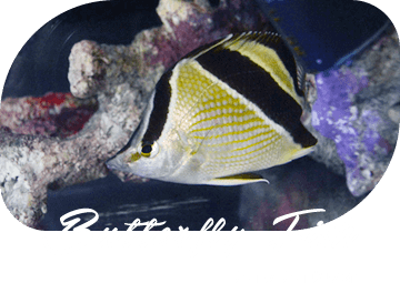 Butterfly Fish チョウチョウウオ