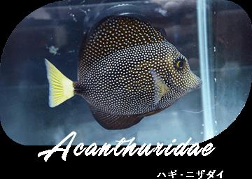 Acanthuridae ハギ・ニザダイ